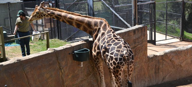 national zoo canberra giraffe