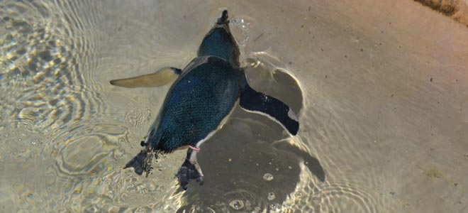 national zoo canberra little penguin