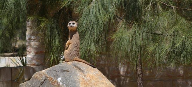 national zoo canberra meerkat