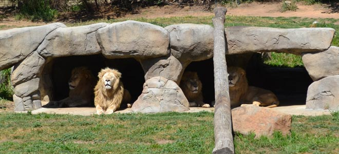 national zoo canberra snow lions